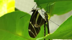 Stunning Zebra longwing butterfly MATING Heliconius charitoniu Stock Footage