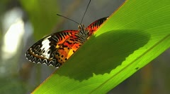 Stunning Slow Motion Butterfly Leopard Lacewing ACTIVE on leaf Centhosia Cyane Stock Footage