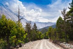 pine forest in annapurna trek - stock photo