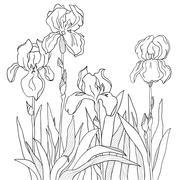 Iris Stock Illustration