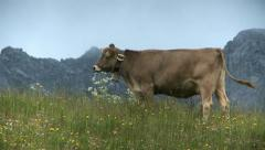 Cow in alpine pasture Stock Footage