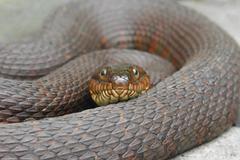 northern water snake (nerodia sipedon) - stock photo