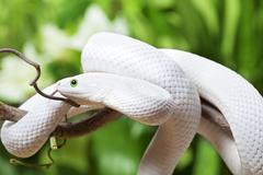 texas rat snake creeping on branch - stock photo