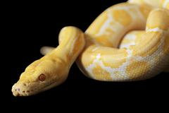 tiger albino python over black - stock photo