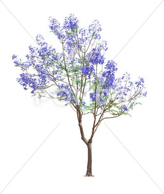 Stock photo of beautiful blooming jacaranda tree
