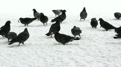 Winter plenty gray pigeons looking for food in the snow Stock Footage