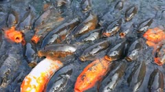 Japanese Koi carps Stock Footage