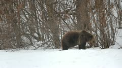 Ferocious bear looking for food during winter - stock footage