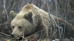 Big brown bear sitting on the ground in the forest and looking around Stock Footage