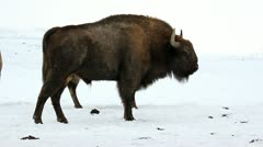 Bisons walking in a winter scenery Stock Footage