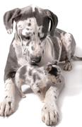 great dane and chihuahua dogs - stock photo