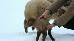 Shepherd hands leaving the sheep baby to his mother Stock Footage