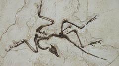 Archaeopteryx, fossil bird Stock Footage