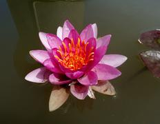 a blooming lotus flower - stock photo