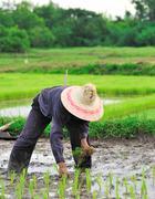 Stock Photo of thai farmer planting on the paddy rice farmland