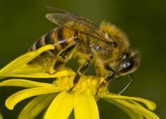 Honey-bee Stock Photos