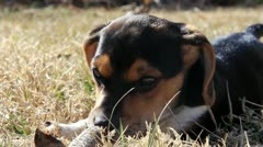 Puppy Chewing on a Stick-Close Up Stock Footage