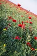 Poppy Field - Landscape - stock photo