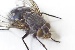 Stock Photo of house fly