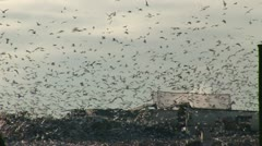 Thousands of birds feast on rubbish dump Stock Footage