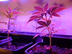 Amnesia autoflovering(Cannabis Sativa) - stock photo