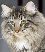 Norwegian forest cat portrait Stock Photos