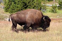 Amerikkalainen biisoni (buffalo) Kuvituskuvat