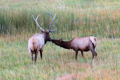 majestic bull elk and cow (cervus canadensis) - stock photo
