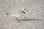 Stock Photo of endangered piping plover (charadrius melodus)