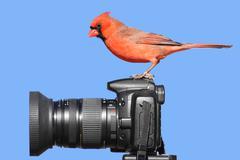 Cardinal on a camera Stock Photos