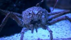 Spider crab in the underwater world Stock Footage