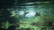 Stock Video Footage of Penguin underwater
