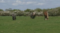 3 draft horses grazing in typical Dutch river landscape - stock footage
