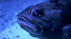 Immobile blue fish Stock Footage