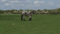 draft horse grazing in pasture - stock footage