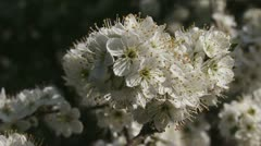 Hawthorn blooming (Prunus spinosa) - close up Stock Footage