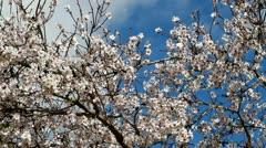 Almond tree Stock Footage