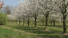 Pan cherry orchard in full bloom - medium shot Stock Footage