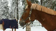 Stock Video Footage of Horses in a paddock eat hay in winter 1L