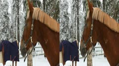 Horses in a paddock eat hay in winter 1LR Stock Footage