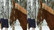 Stock Video Footage of Horses in a paddock eat hay in winter 1LR