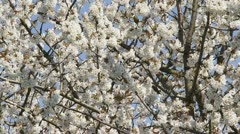 Pan  branch cherry tree in full bloom Stock Footage