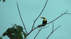 Toucan sitting on an branch Stock Footage