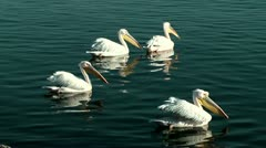 Group of Pelicans swimming in blue water Stock Footage