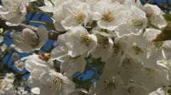 Fruit blossoms branch old fruit tree against blue sky - close up Stock Footage
