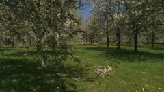 Orchard in full bloom - tilt up branch old fruit tree. Stock Footage