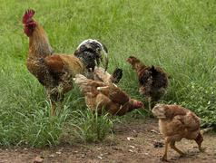 the only rooster in the hen house - stock photo