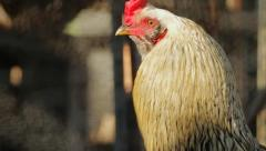 Rooster in Cage Rack Focus Stock Footage
