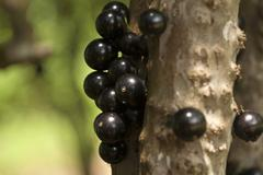 Jaboticaba fruit growing on tree trunk Stock Photos