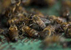 africanized italian honey bees at entrance to hive - stock photo